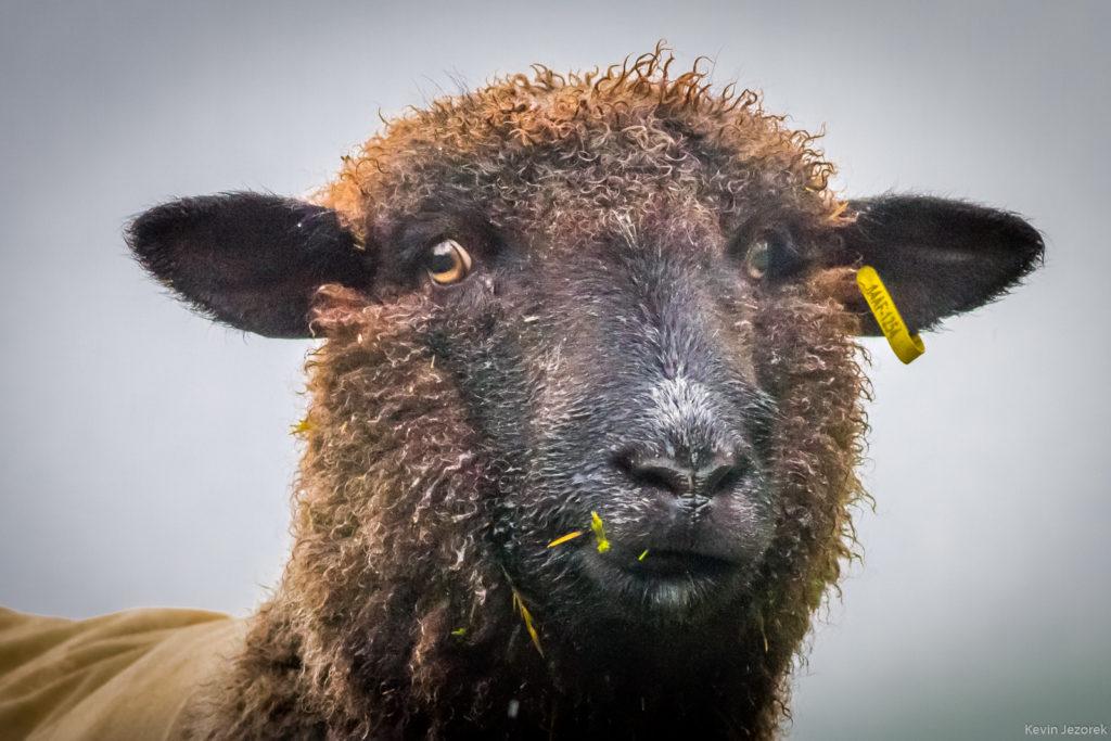 Googly Eyed Sheep