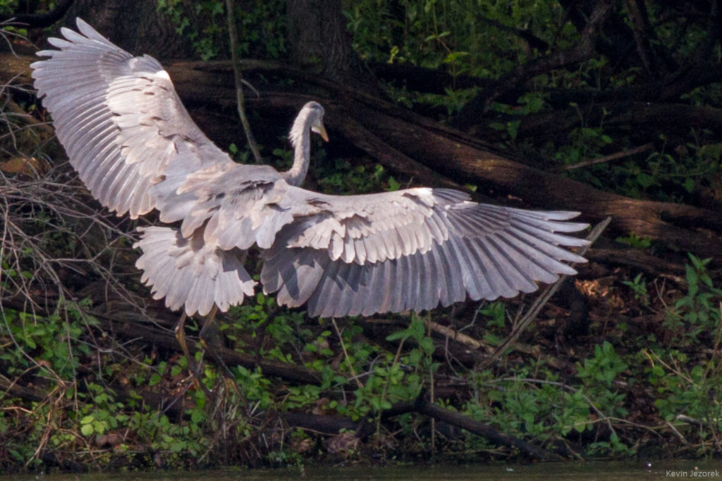 Great Blue Heron landing on the shore