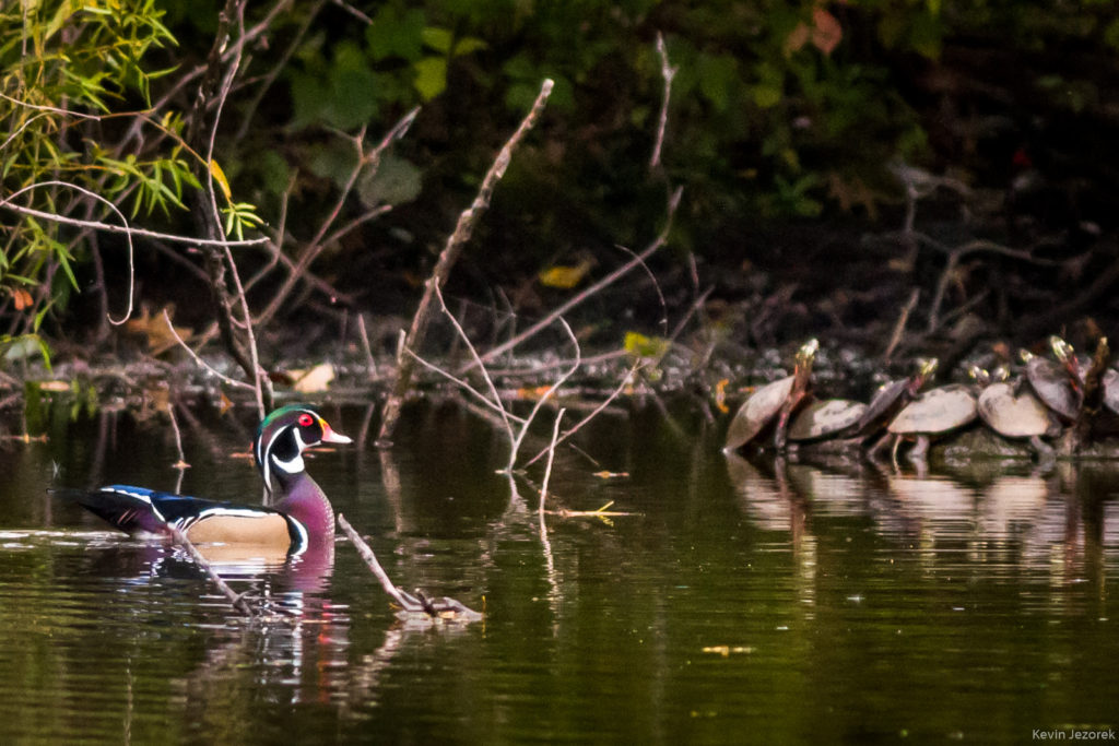 Wood duck and Painted Turtles