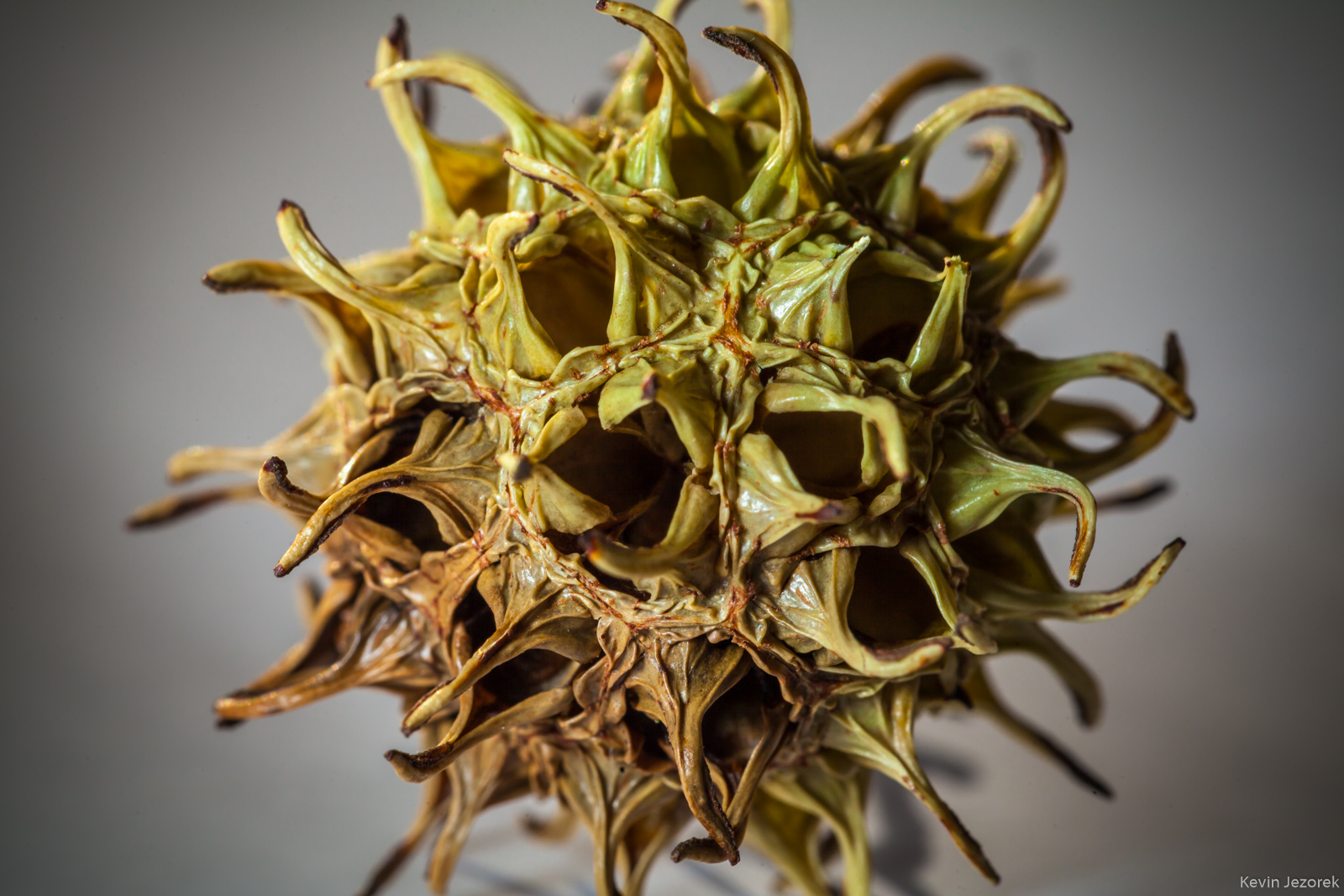 Seed pod from a Sweet Gum tree